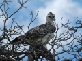Martial Eagle Juvenile