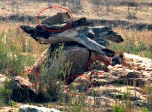 Kruger Lions2